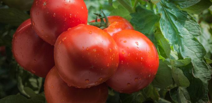 Hanover Tomatoes